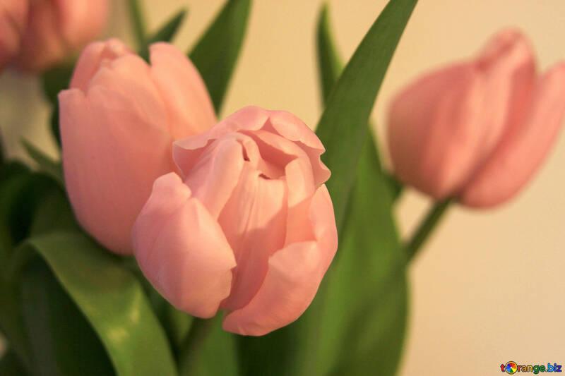 Pink tulip. Large №948