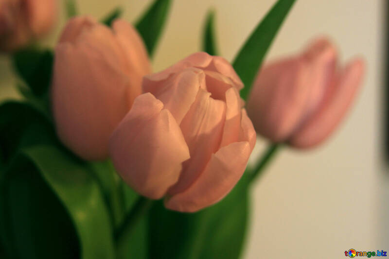 Pink tulips №949