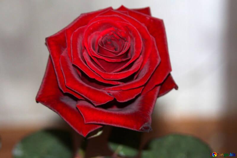 Red Rose №972
