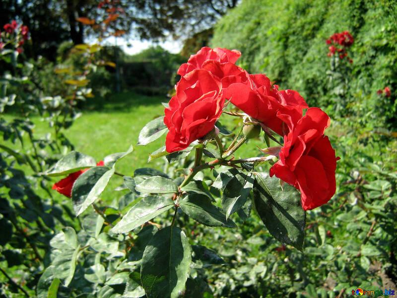 Красные розы №539