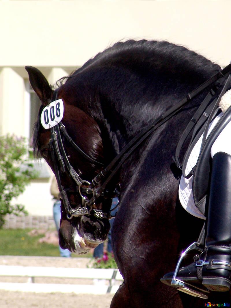 Black stallion. Dressage №761