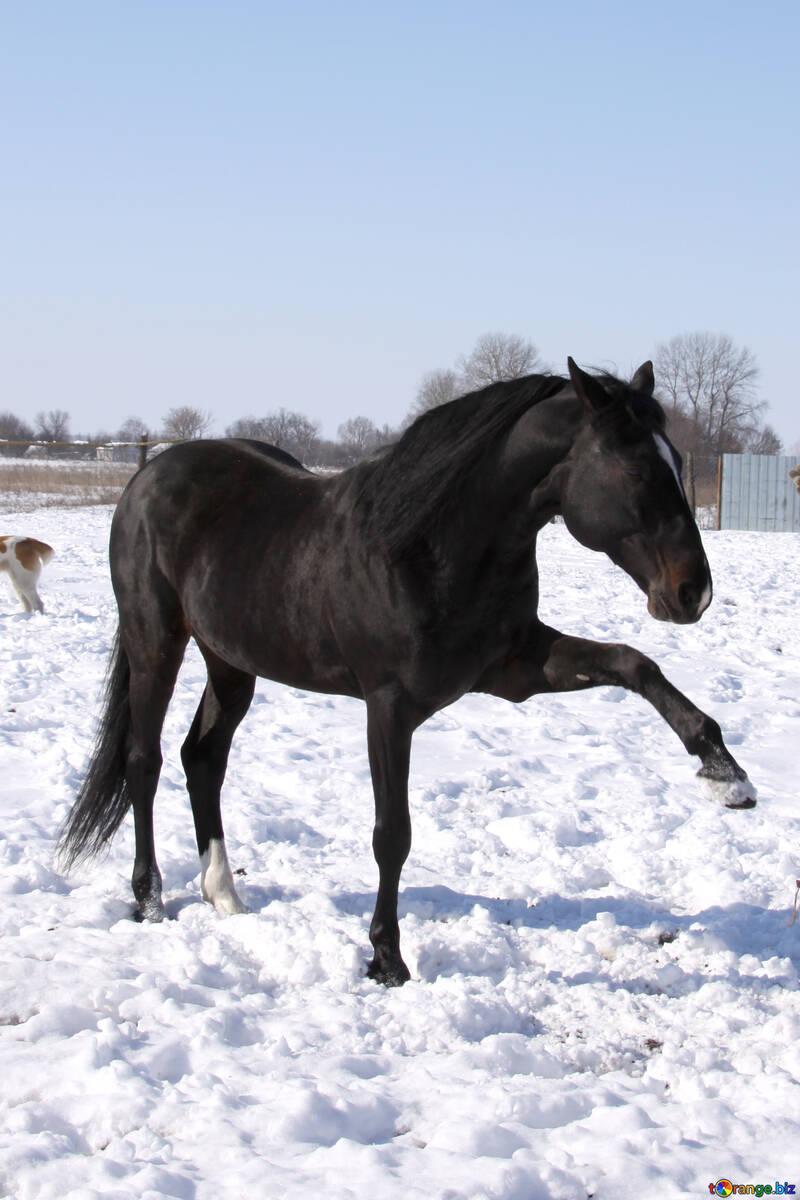 Black stallion №462