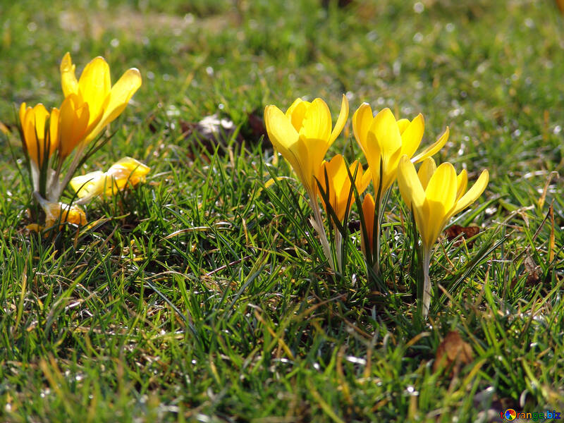 Yellow  Spring  Flowers №447