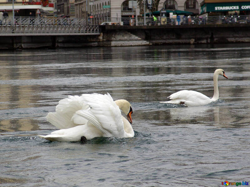 Белые лебеди плывут. Швейцария. Женева. Набережная Монт Бланк. №388