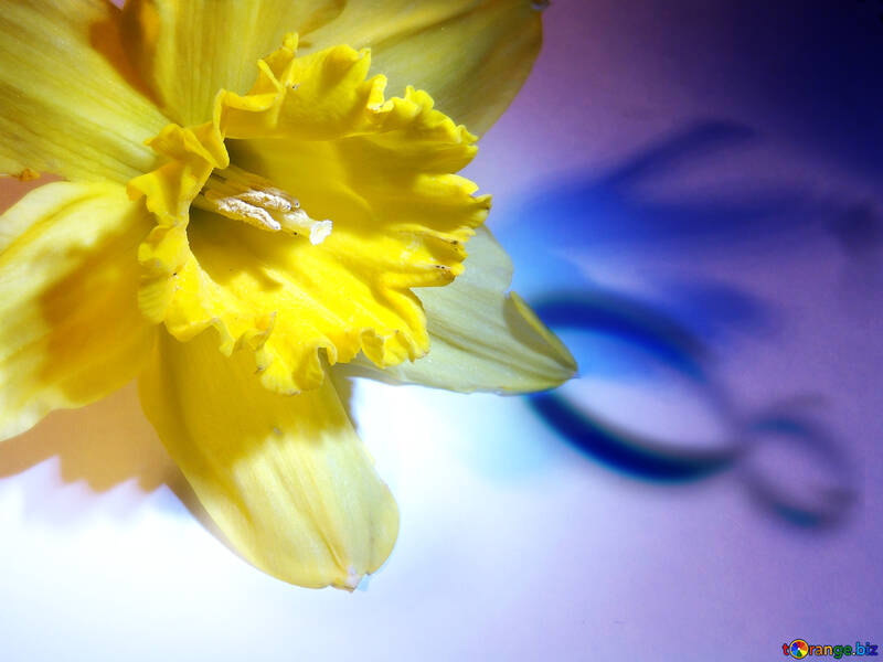 Narcissus on March 8 greetings №341