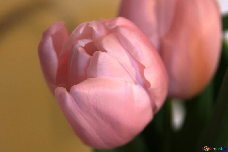 Tulip. Macro №950