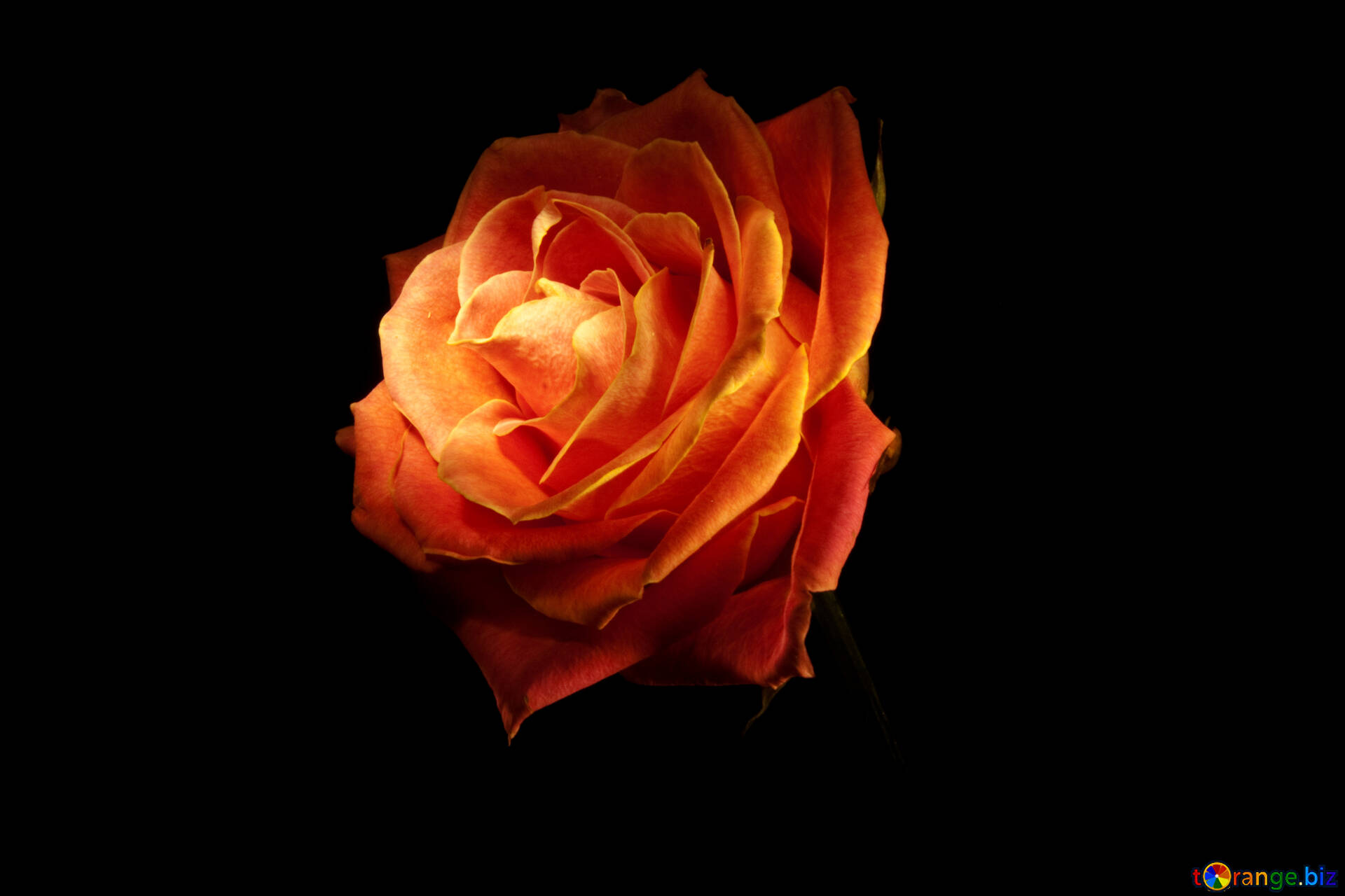 Flowers Roses Isolated Fire Rose Wallpaper For Desktop Rose