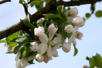 Pink apple blossoms on branch №1817