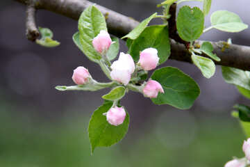 Яблоня весной №1822