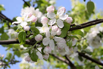 Apple trees in bloom №1815