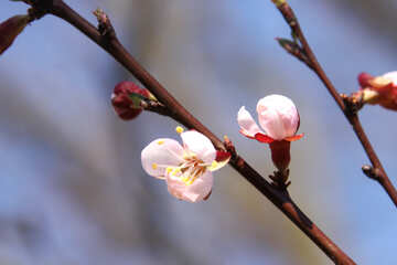Flowering apricot №1600