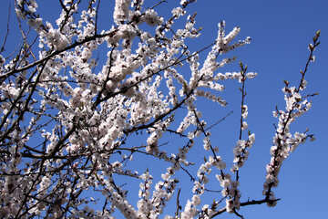 Spring. Tsvetuschae branches of apricot №1594