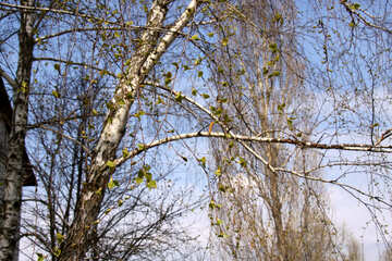 Birch twigs in the spring №1773