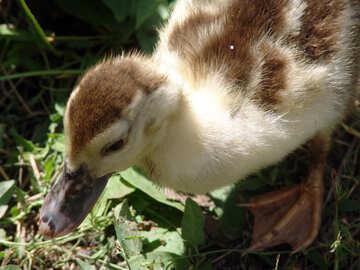 Duckling №1967
