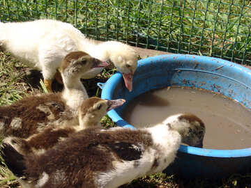 Ducklings at Watering №1969