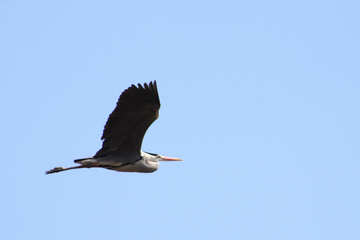 Flight of gray heron №1196