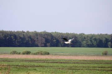 garza gris sobrevuela el prado verde garza gris  №1667