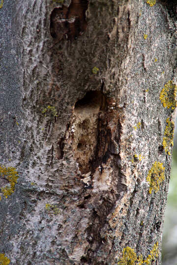 Hollow of woodpecker №1705