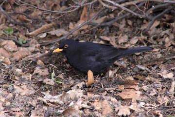Ouzel. A blackbird. №1438