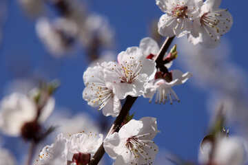 The branch of flowering apricot №1596