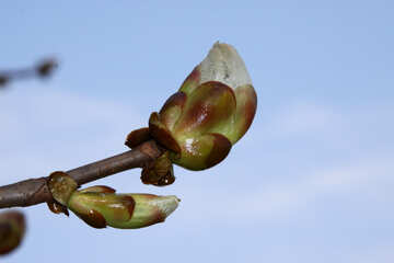 Blossoming buds of chestnut №1769