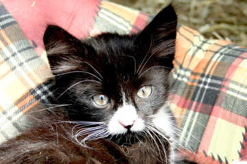 Black and white kitten №1051