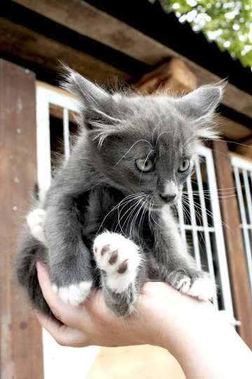 Gray kitten sits in hand №1052