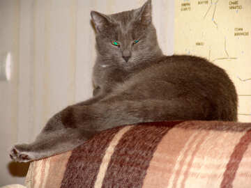 A gray cat lying on the back of the sofa №1043