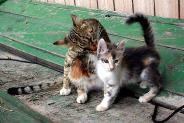 Cat licking kitten №1047