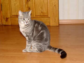 Striped smoky cat №1044