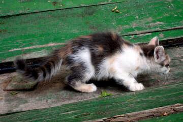 Trehmastny tortoiseshell kitten №1046