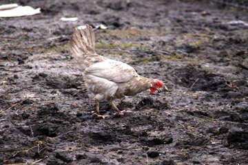 White Chicken №1175
