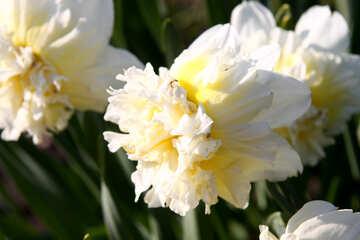 White Daffodils sunlit №1750