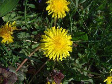 Dandelion flower №1005
