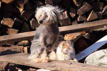 Chinese  bald  Crested  dog №1607