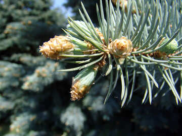 Coniferous cone on branch close №1007