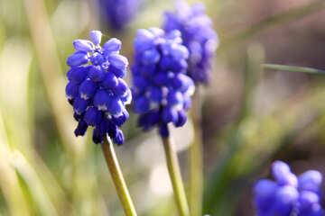 Blue flower. Grape hyacinth №1782