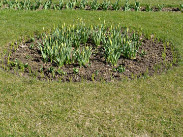 The shoots of tulips and daffodils in the flowerbed №1426