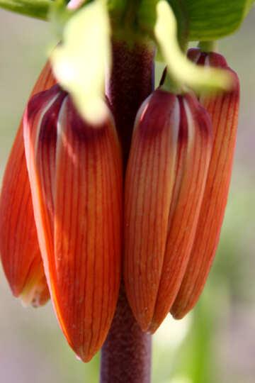 Imperial Fritillaria (Fritillaria imperialis) Large №1633