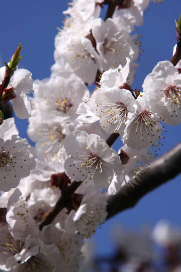 White apricot blossoms against the sky №1598