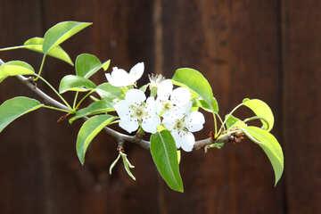 Sprig flowering pear №1830
