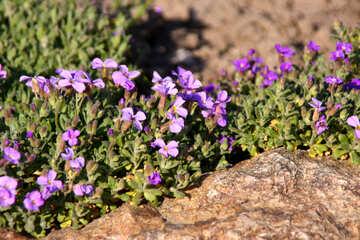 Purple flowers on the rocks №1721