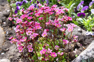 Saxifraga in the alpine hill №1808
