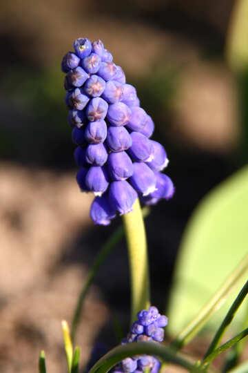 Mouse hyacinth №1780