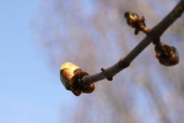 Sprig Chestnut spring