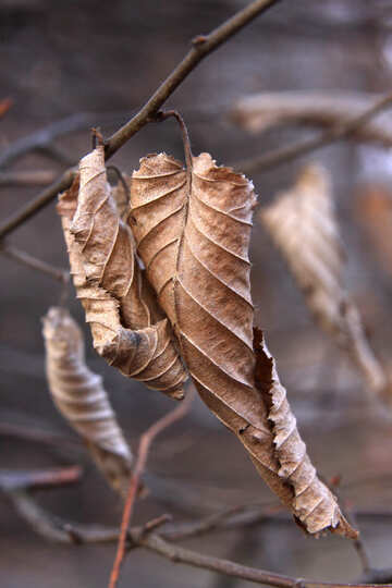 Leaf dried №1415