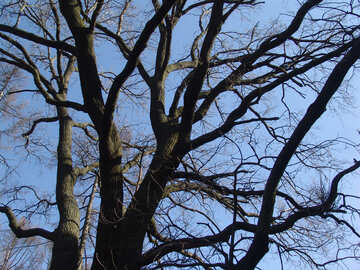 Tree crone №1401