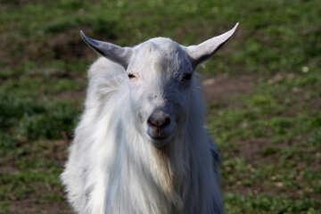 Goat. №1275