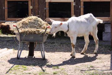 Una capra e una carriola di letame №1281
