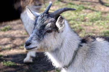 Gray goat №1282